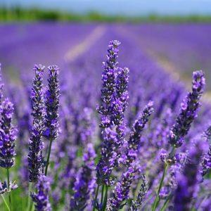 lavender-blossom-1595584_640